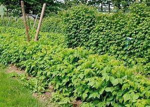 Wann Himbeeren Pflanzen : bild vordergrund 39 polana 39 im hintergrund die ~ Lizthompson.info Haus und Dekorationen