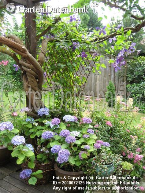 hortensien überwintern im topf hortensie bauernhortensie bilder fotos hydrangea macrophylla bild mit infos