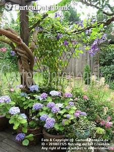 Clematis Im Topf : bild hortensie bauernhortensie hydrangea macrophylla ~ Lizthompson.info Haus und Dekorationen