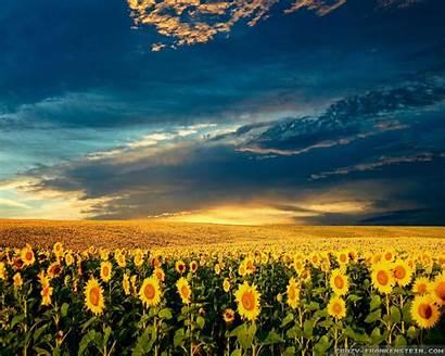 Spring Sunflowers Wallpapers Flowers Frankenstein Crazy Farm