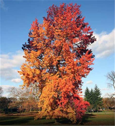 sweet gum tree buy affordable american sweetgum trees at our online nursery