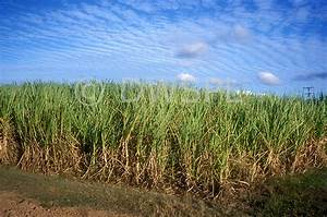 SUGAR CANE CROP, NORTH QUEENSLAND, AUSTRALIA