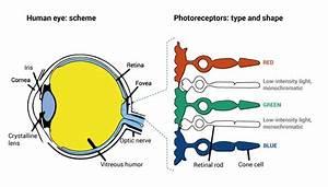 Eyes Diagram Rods Cines : colour perception have you ever heard about metamerism ~ A.2002-acura-tl-radio.info Haus und Dekorationen