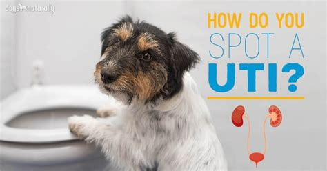 urinary tract infection archives dogs naturally