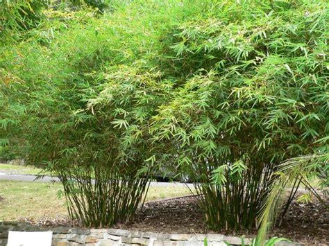 bamboo bambusa multiplex willowy  hardy