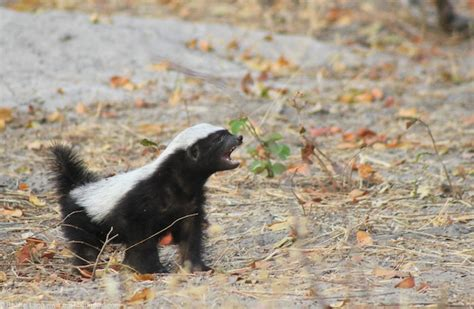 crazy baby honey badger  camp linyanti africa geographic