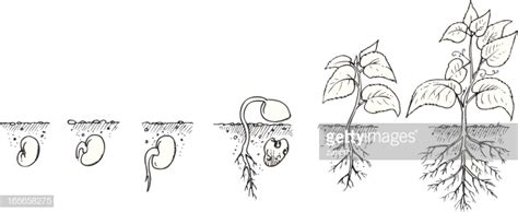drawing showing  growth   plant  seed  mature