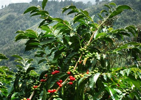 The biggest drawback to planting and harvesting arabica plants is that they. ARABICA COFFEE BEANS   WIKI COFFEE   COFFEANA - For Coffee Lovers