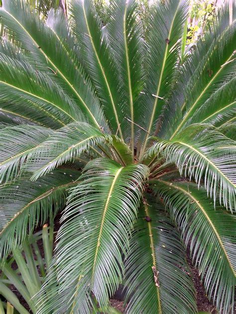 Palmeira Cica | Gramas e Gramados
