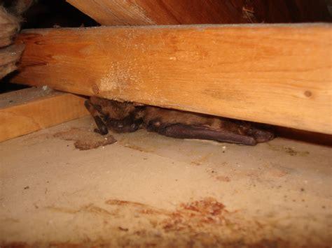 bats   homes skedaddle humane wildlife control