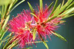 Oleander Draussen überwintern : oleander hat nach dem winter vertrocknete bl tter woran liegt 39 s ~ Eleganceandgraceweddings.com Haus und Dekorationen