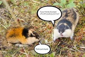 Modern Mythology: Suicidal Lemmings | Teen Skepchick