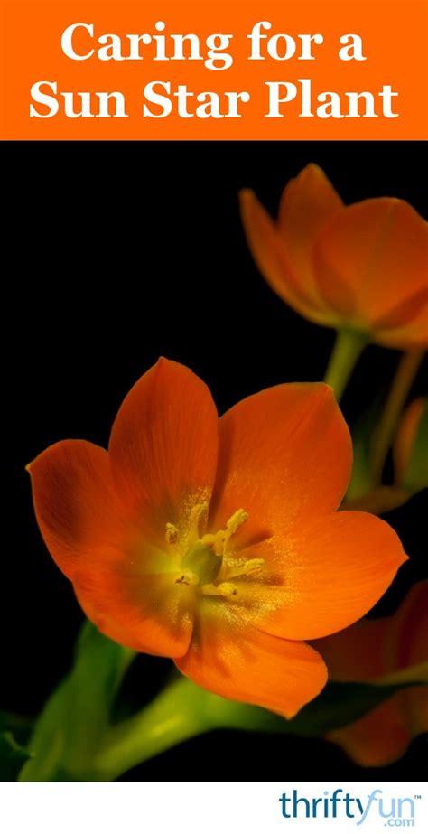 caring   sun star plant thriftyfun