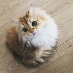 fluffy cats best 25 fluffy kittens ideas on adorable