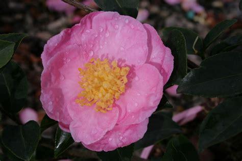 camellia sasanqua plantation pink 250mm pot semi shade variety dawsons garden world