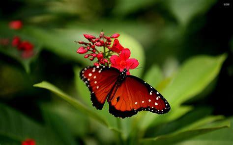 flower butterfly wallpaper pixelstalknet
