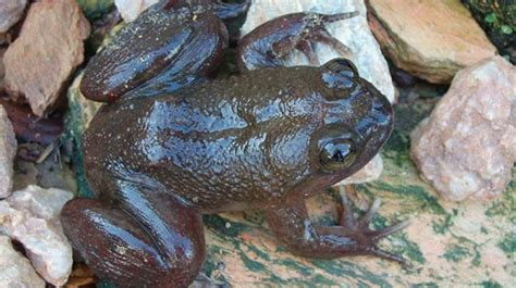 togo slippery frog characteristics habitat breeding