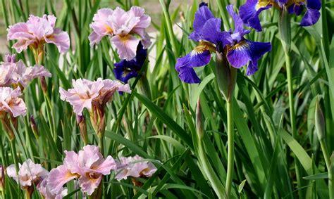 buy iris daylilies siberian iris japanese iris