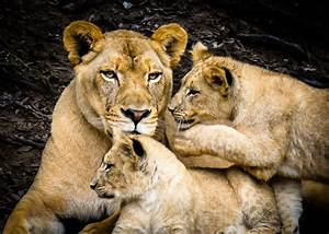 lion cubs with mother lions krausmann photo behind the scenes