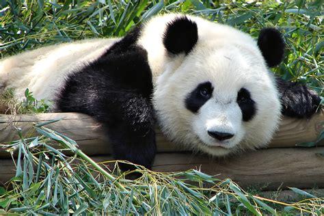 File:Atlanta Zoo Panda.jpg - Wikipedia
