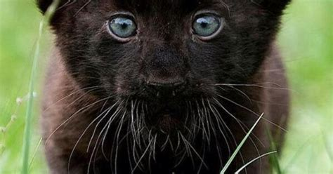 "Cute baby panther ""Fascinating Pictures: Panther Cub"