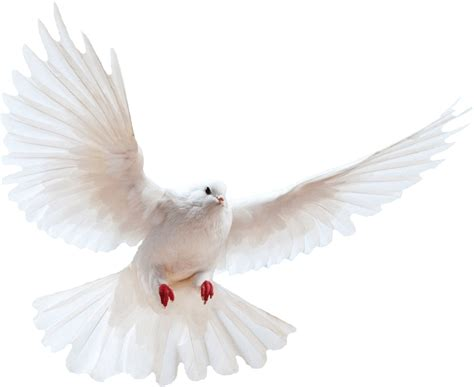 Image With Transparent Background White Dove Transparent Background Bird