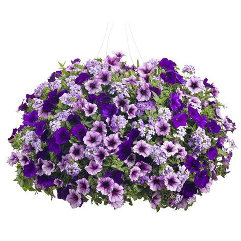 Shop Proven Winners 3 Gallon Hanging Basket Combo at Lowes.com