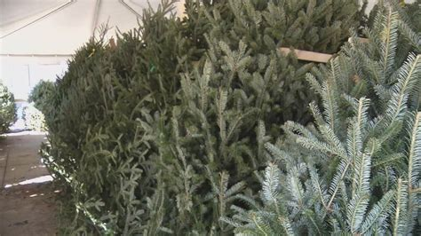 experts tell how to preserve christmas tree