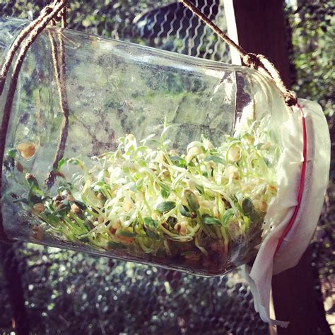 Growing Fenugreek Sprouts And Microgreens From Your Home