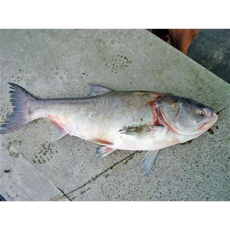 bhs type sgf silver terlaris attack of the asian carp in the us