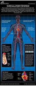 Diagram Of The Human Circulatory System  Infographic