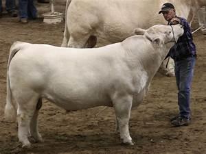 Nwss  U2013 Open Charolais Bull