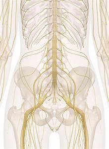 Nerves Of The Abdomen  Lower Back And Pelvis