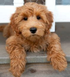 Mini Aussie Non Shedding by Teddy Miniature Poodle Puppies Pinteres