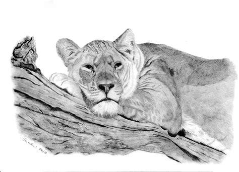 sarahs pet portraits  art work lioness resting