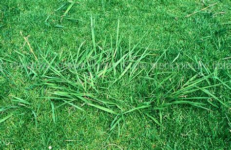 what type of grass is sod image grass grasses lawn lawns lawn grass lawn grasses couch quotes