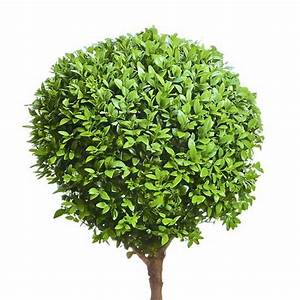Portugiesischer Kirschlorbeer Düngen : buchsbaum quattro kugel auf stamm 100cm ~ Watch28wear.com Haus und Dekorationen