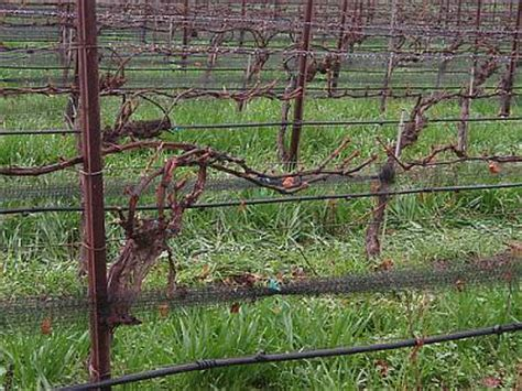 pruning grape vines fall home garden how to prune grape vines