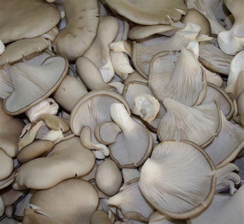 cuisiner pleurotes grises pleurotes grises pleurotus ostreatus saveurs