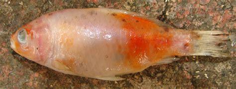 maladie des poissons rouges d aquarium mes poissons sont malades