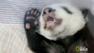 Lazy Panda GIFs - Find & Share on GIPHY