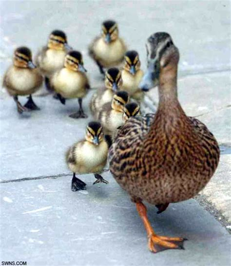 Pictured A Proud Mother Duck And Her 10 Ducklings Waddle