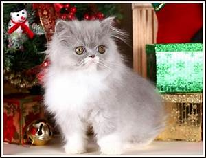Lilac and White Bicolor Persian Kitten for saleUltra Rare ...