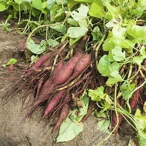 Culture De La Patate Douce : patate douce planter et cultiver ooreka ~ Carolinahurricanesstore.com Idées de Décoration