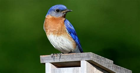eastern bluebird life history all about birds cornell