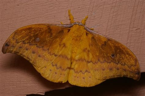 emperor moth syntherata janetta