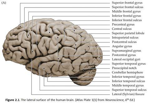 duke neurosciences lab  surface anatomy   brain