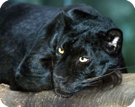 Black Panther Pictures, Images, Photos