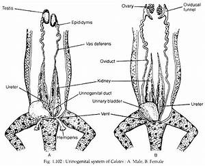 Reproductive System Of Calotes  With Diagram