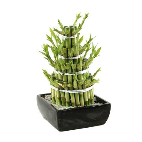 bambou 4 233 tages n 176 2 plantes vertes d int 233 rieur jardinerie truffaut